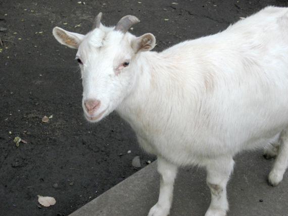 ヤギの画像 p1_26